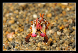 Juvenile Flamboyant Cuttlefish. This guy was about 1in lo... by Kay Burn Lim 